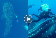 Diver Frees Whale Shark from Giant Commercial Fishing Rope