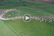 Drone Captures Sheep Being Herded Across the Grasslands of New Zealand from Above