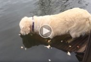 Golden Retriever Goes Fishing With Bread Crumbs