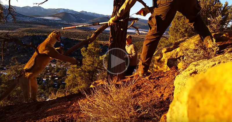 Raw Video of Park Rangers Rescuing a Cougar Caught in a Trap