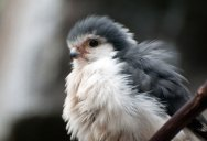 Picture of the Day: Just a Pygmy Falcon