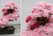 Picture of the Day: Sublime Bonsai Azalea