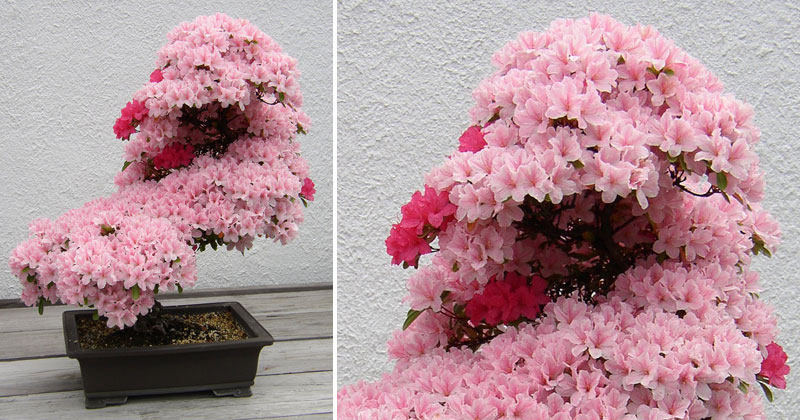 Picture of the Day: Sublime Bonsai Azalea
