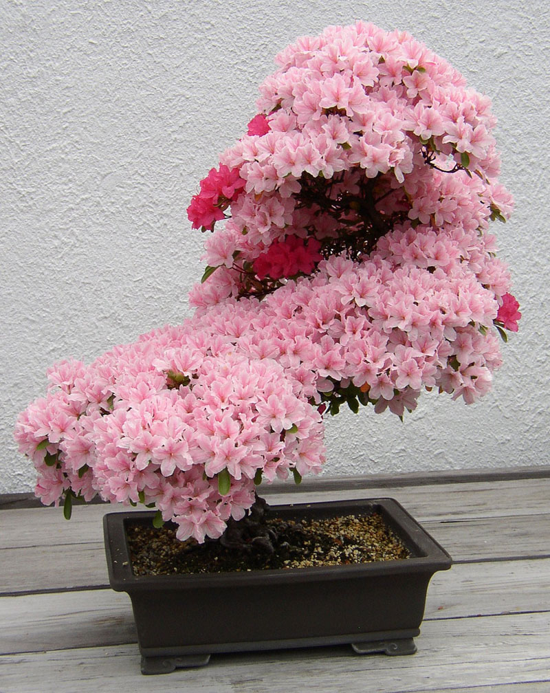 bonsai pink azalea washington arboretum Picture of the Day: Sublime Bonsai Azalea