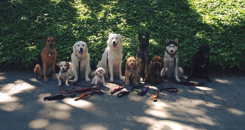 Dog Walker Takes Daily Pack Pics for the Owners by walkpro leash (18)