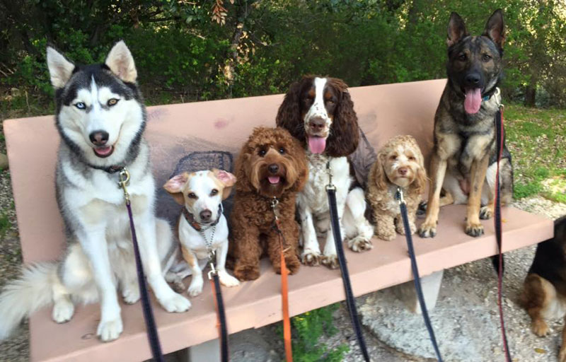 Dog Walker Takes Daily Pack Pics for the Owners by walkpro leash (19)