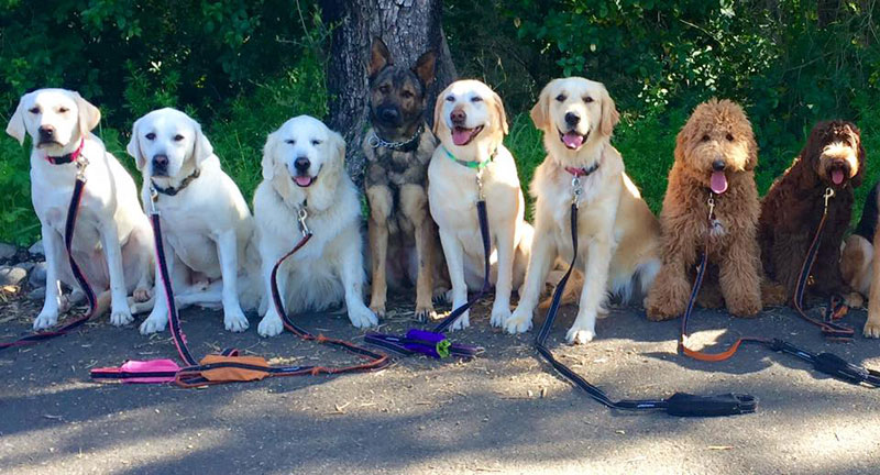 Dog Walker Takes Daily Pack Pics for the Owners by walkpro leash (21)