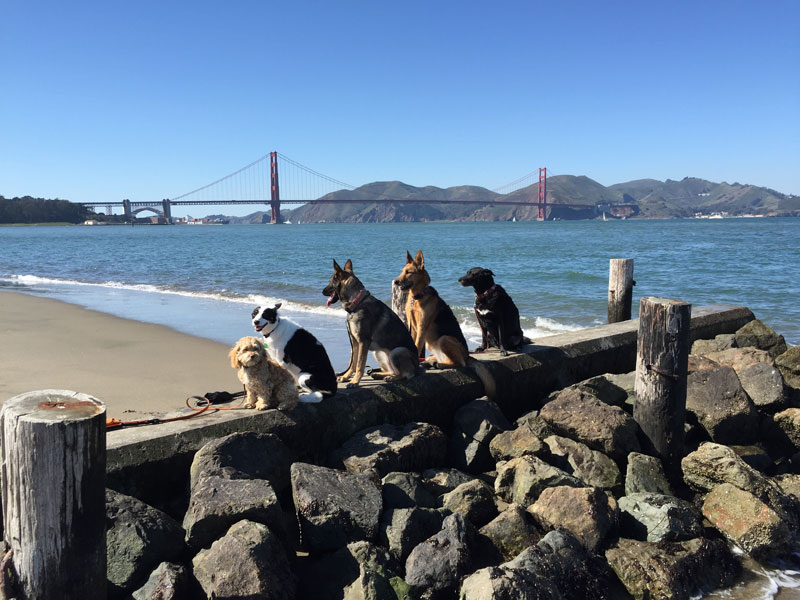 Dog Walker Takes Daily Pack Pics for the Owners by walkpro leash (6)