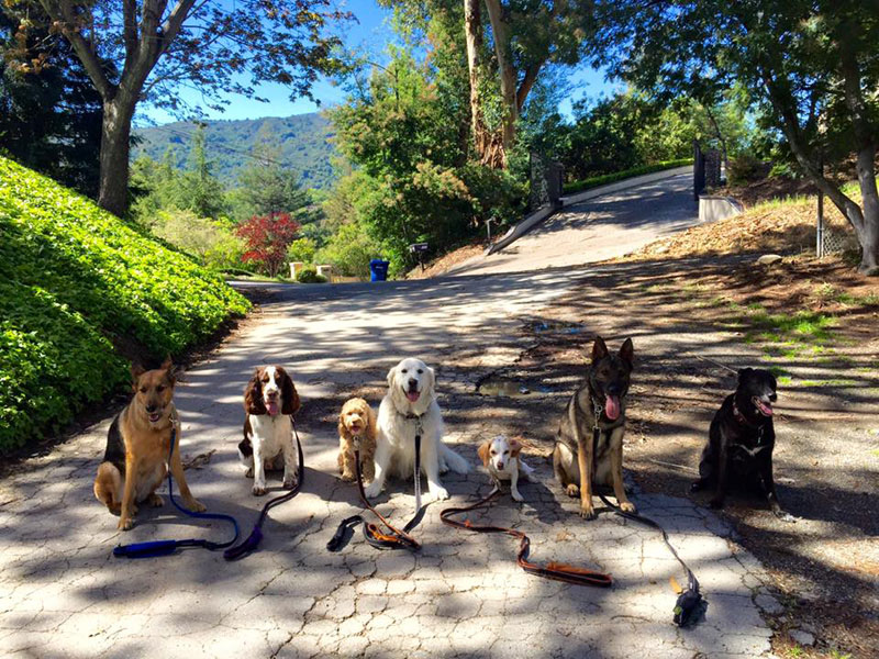 Dog Walker Takes Daily Pack Pics for the Owners by walkpro leash (8)
