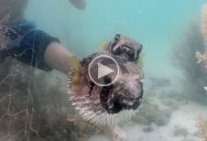 Awesome Snorkelers Rescue Porcupinefish Caught in Net