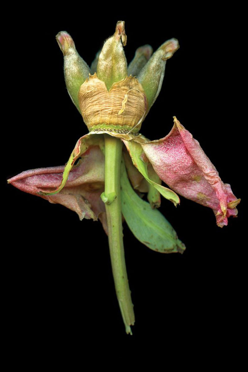 1)-Tree-Peonie-Seed-Crown