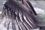 Massive Humpback Surfaces to Feed Mere Feet from Marina Dock in Alaska