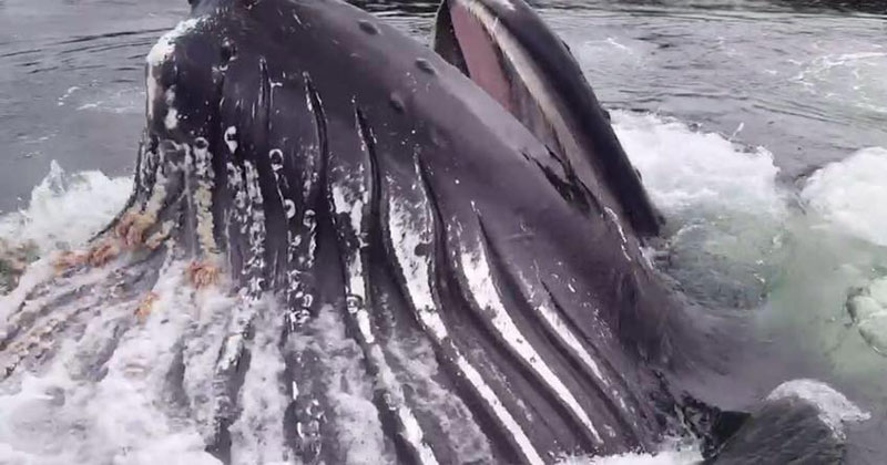 Massive Humpback Surfaces to Feed Mere Feet from Marina Dock in Alaska