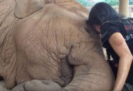 This Woman's Lullaby Never Fails to Put this Rescued Elephant to Sleep