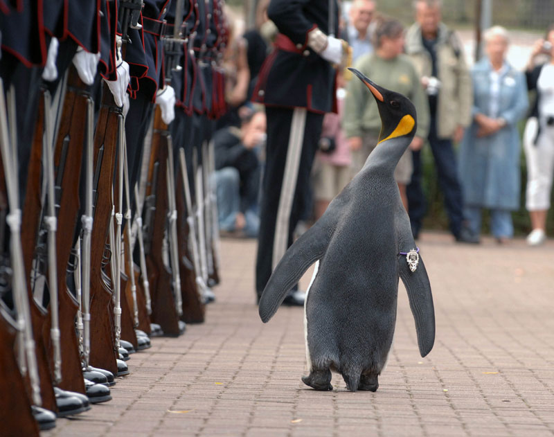 sir nils olav king penguin and colonel in chief of the norwegian royal guard (1)