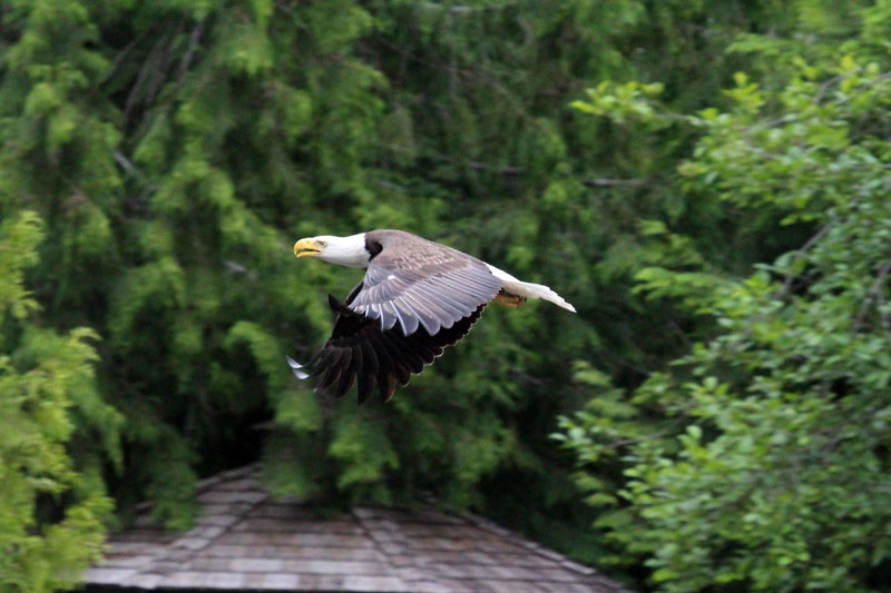 bald eagle vs canada goose by lisa bell (10)