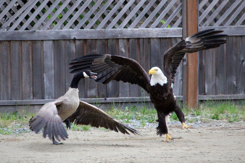 bald eagle vs canada goose by lisa bell (3)