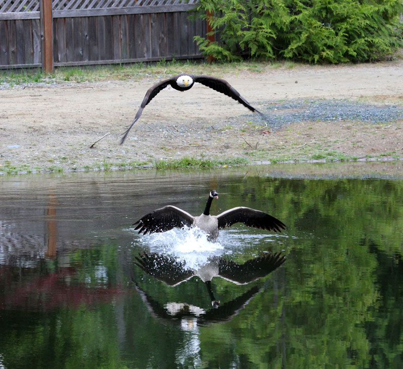 bald eagle vs canada goose by lisa bell (6)