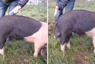 How To Make a Pig's Tail Go Straight