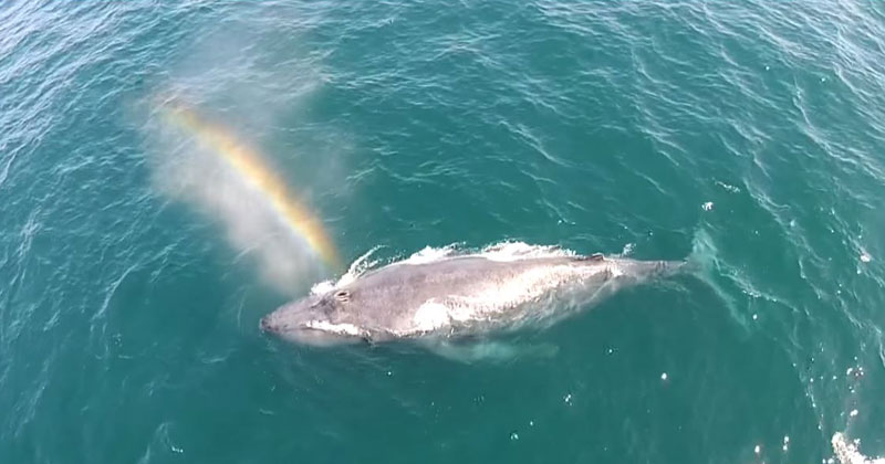 Amazing Drone Footage Shows Humpback Whale Shooting Rainbow