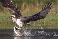 Osprey Swoops in to Catch Trout in Super Slow Motion