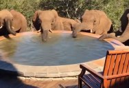 That Moment, When You Wake Up to a Herd of Elephants Drinking Out of Your Pool