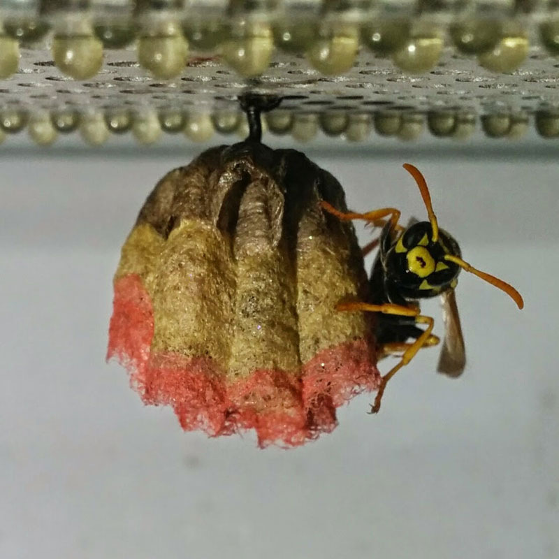 wasps use colored paper to make rainbow colored nests (1)