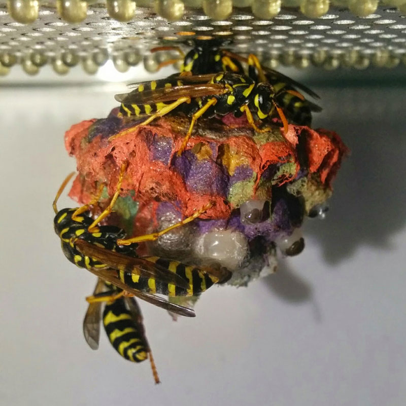 wasps use colored paper to make rainbow colored nests (12)