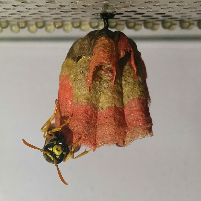 wasps use colored paper to make rainbow colored nests (2)