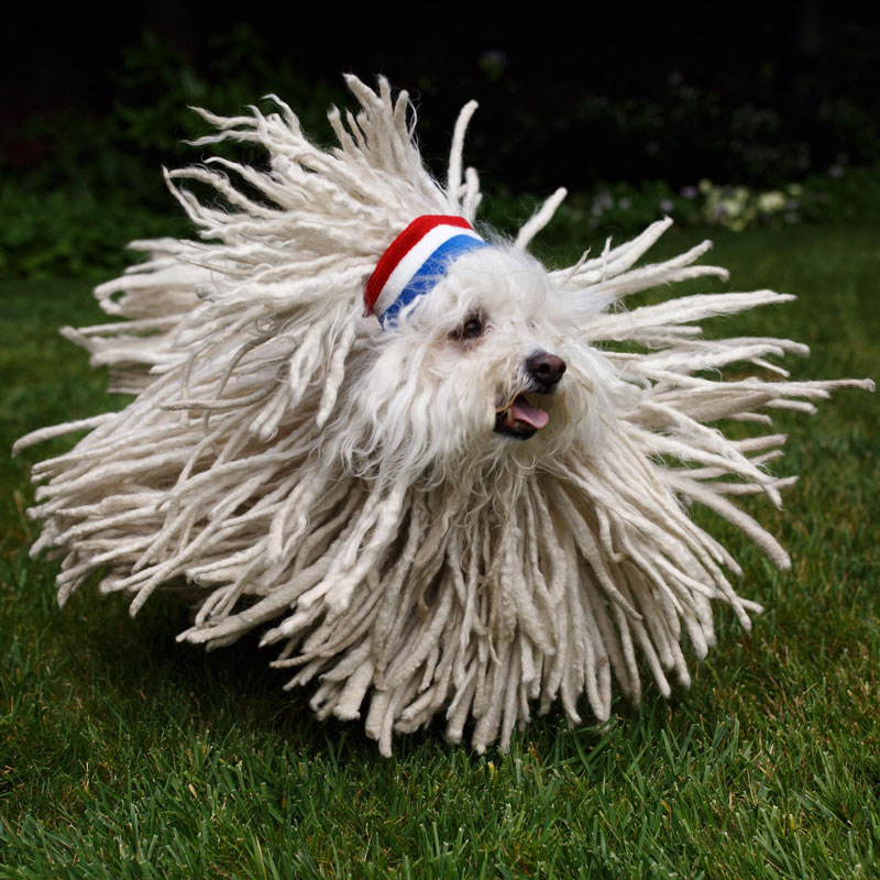 not sure if dog or mop hungarian puli mark zuckerberg dog Picture of the Day: Not Sure If Dog or Mop