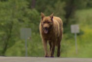 Dog Walks 4 Miles Into Town Each Day to Say Hi to Everyone