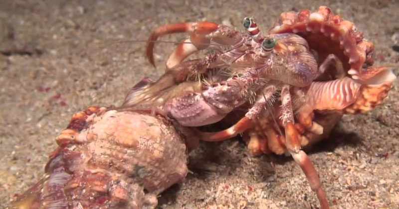 Hermit Crab Finds New Shell and Takes His Symbiotic Friends With Him