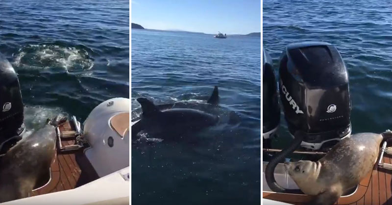 [Raw Video] Seal Escapes Death by Leaping Onto Boat