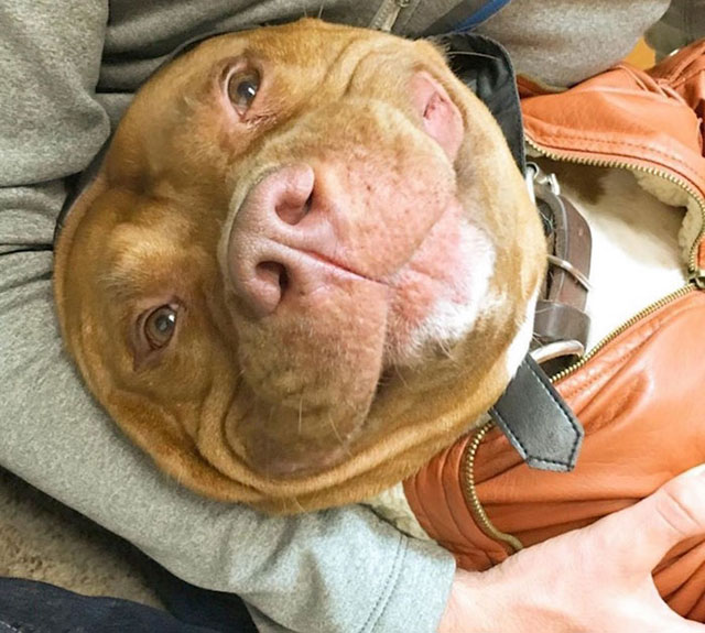 dog cant stop smiling after being adopted meaty the pitbull 3 Dog Cant Stop Smiling After Being Adopted
