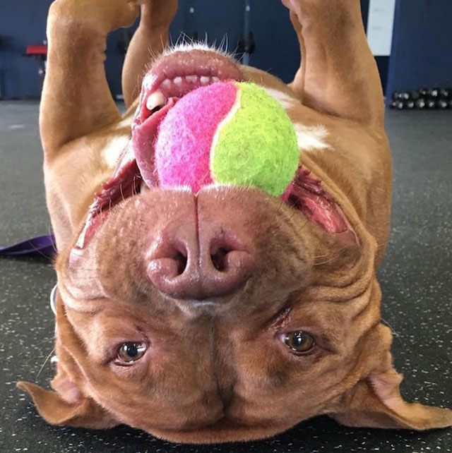 dog cant stop smiling after being adopted meaty the pitbull 4 Dog Cant Stop Smiling After Being Adopted