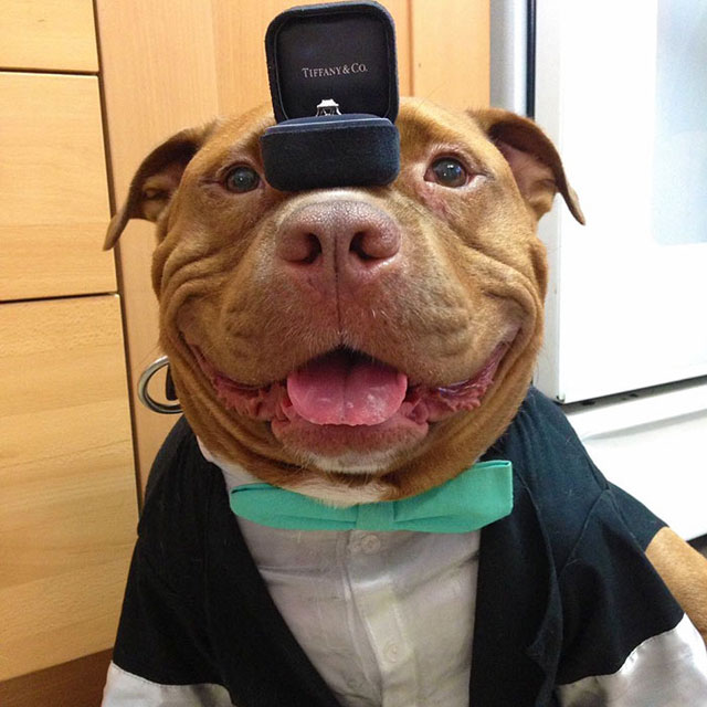 dog cant stop smiling after being adopted meaty the pitbull 5 Dog Cant Stop Smiling After Being Adopted