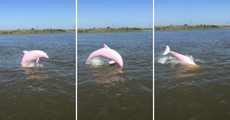 Rare Pink Dolphin Spotted in Lake Calcasieu, Louisiana