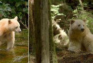 10 Things You Didn't Know About the Rare and Elusive Spirit Bear