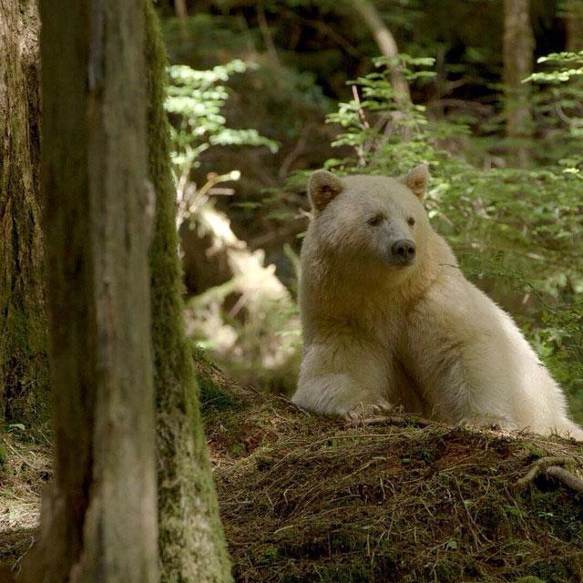 white fur black bear spirit kermode bear 3 10 Things You Didnt Know About the Rare and Elusive Spirit Bear