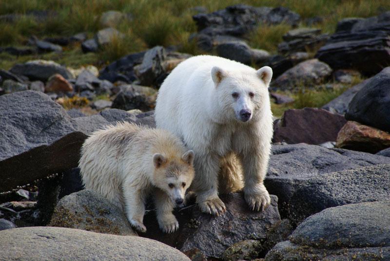 white fur black bear spirit kermode bear 5 10 Things You Didnt Know About the Rare and Elusive Spirit Bear