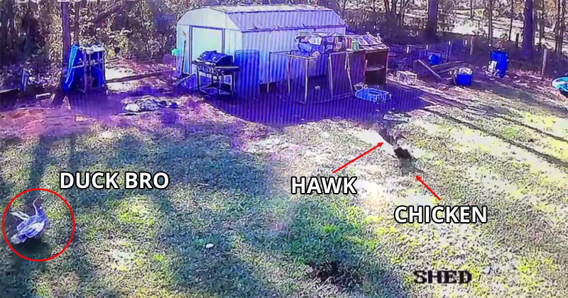 Felix the Duck Saves His Chicken Friend from a Preying Hawk