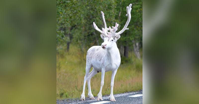 Picture of the Day: Rare White Reindeer Spotted in Mala, Sweden