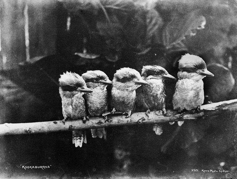 kookaburras black and white vintage Picture of the Day: Kookaburras, circa 1900