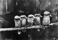 Picture of the Day: Kookaburras, circa 1900