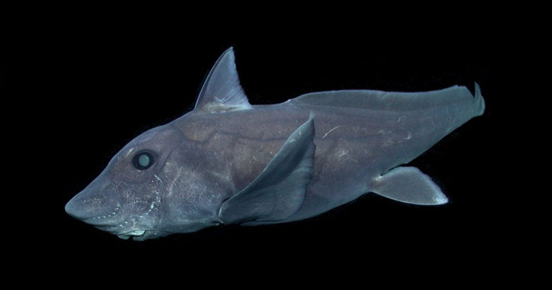 Rare Deep-Sea Ghost Shark Observed for First Time Ever in Natural Habitat