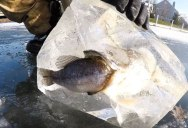 Pike Found Frozen in Ice While Trying to Eat a Bass