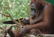 Just a Wild Orangutan Using a Saw