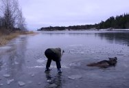 Awesome Couple on Skates Use Axe to Rescue Moose that Fell Through Ice