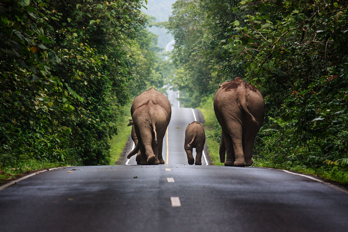 family of elephants walking down road khao yai national park thailand Picture of the Day: Family Walks are the Best Walks