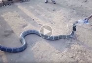 King Cobra Wanders Into Village Due to Drought and Drinks Water from Rescuers' Bottle